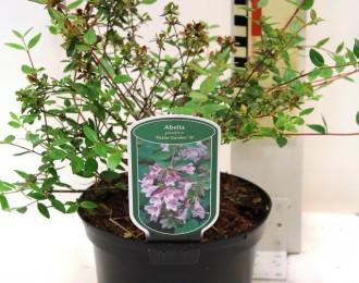 Abelia grandiflora 'Petite Garden'