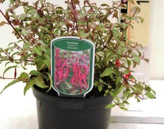 Fuchsia 'Versicolor'