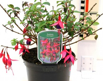 Fuchsia 'Mrs Popple'